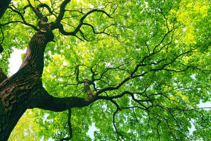 Científicos afirman que un árbol ayuda a enfriar una ciudad durante la noche