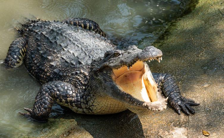 Un caimán atacó a su cuidadora frente a un espectáculo infantil (+video)